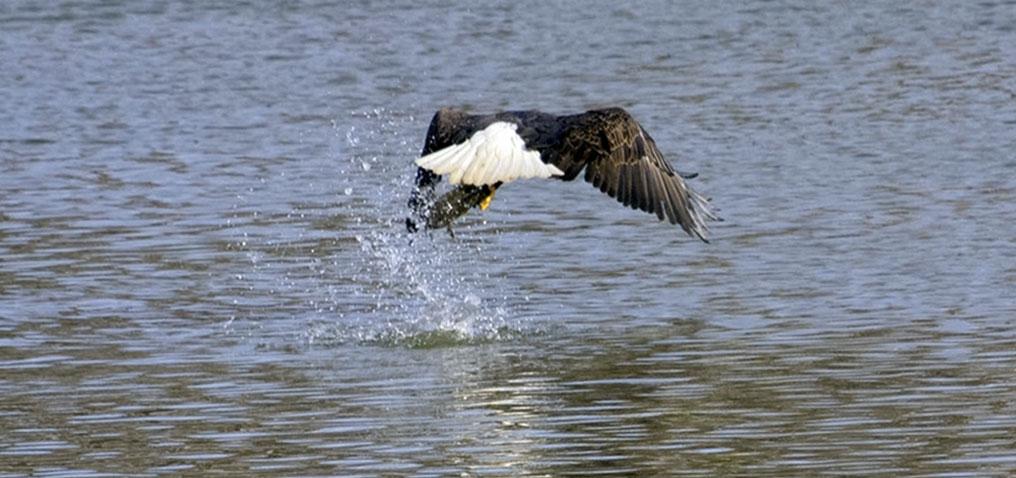 Bald Eagle Images Audubon Society Of Western Pa