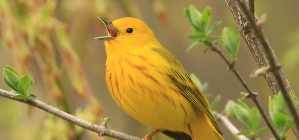 Todd Birds and Observations | Audubon Society of Western PA