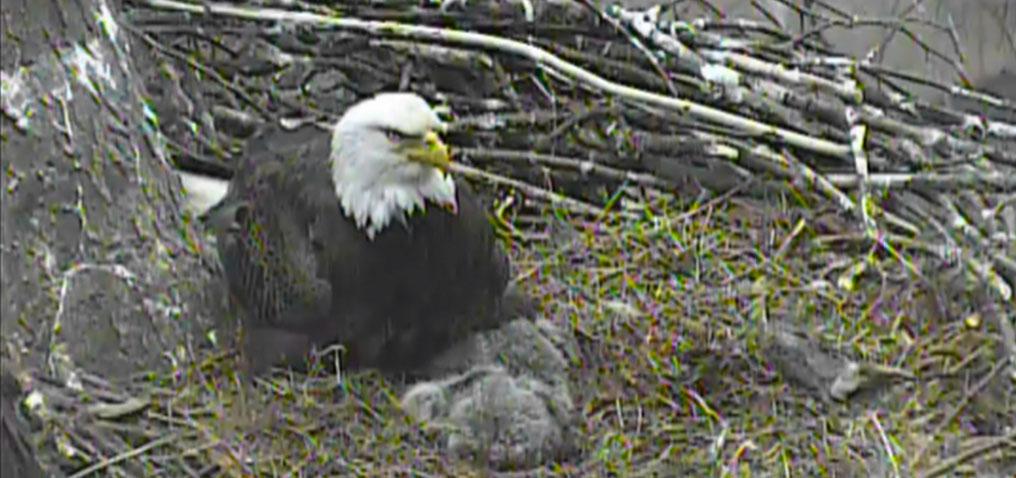 Bald eagle live webcam in pittsburgh