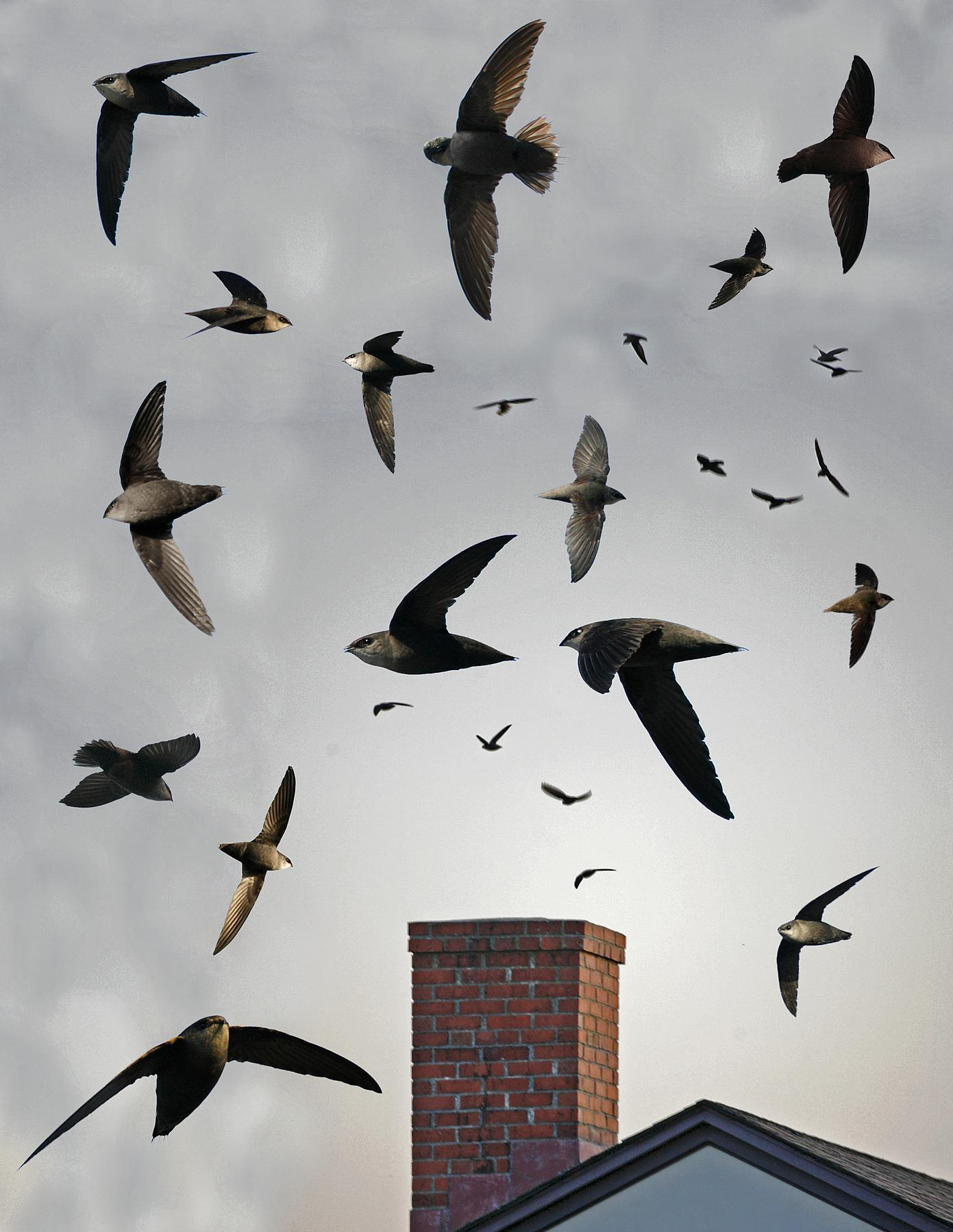 Chimney swift from the crossley id guide eastern birds