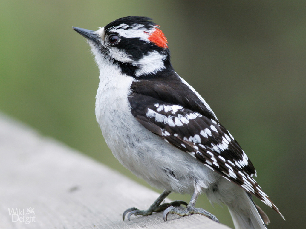 Bird downywoodpecker13
