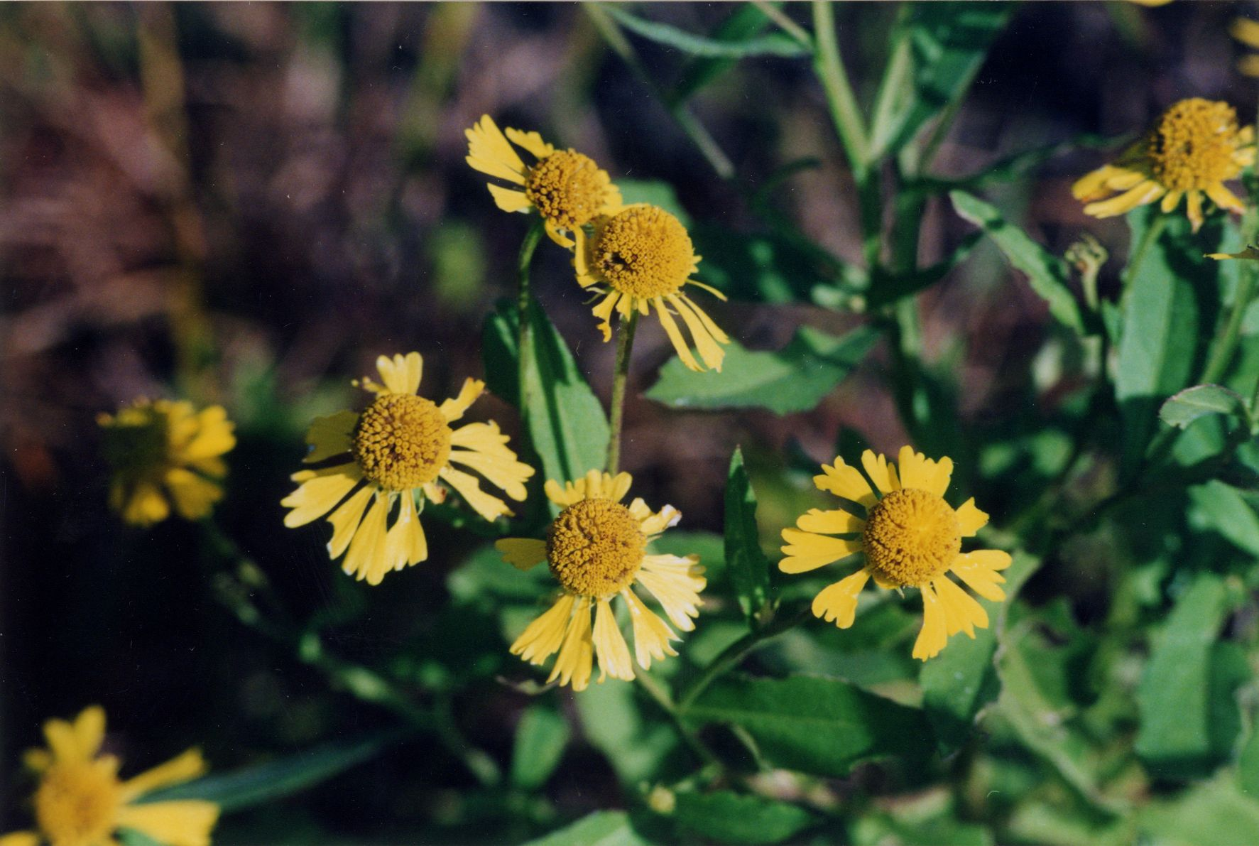 List of western pa natives audubon society of western pa also called common sneezeweed daisy like yellow flowers with squared off edges bloom on stout stems in late summer height 3 5 sun to part sun mightylinksfo
