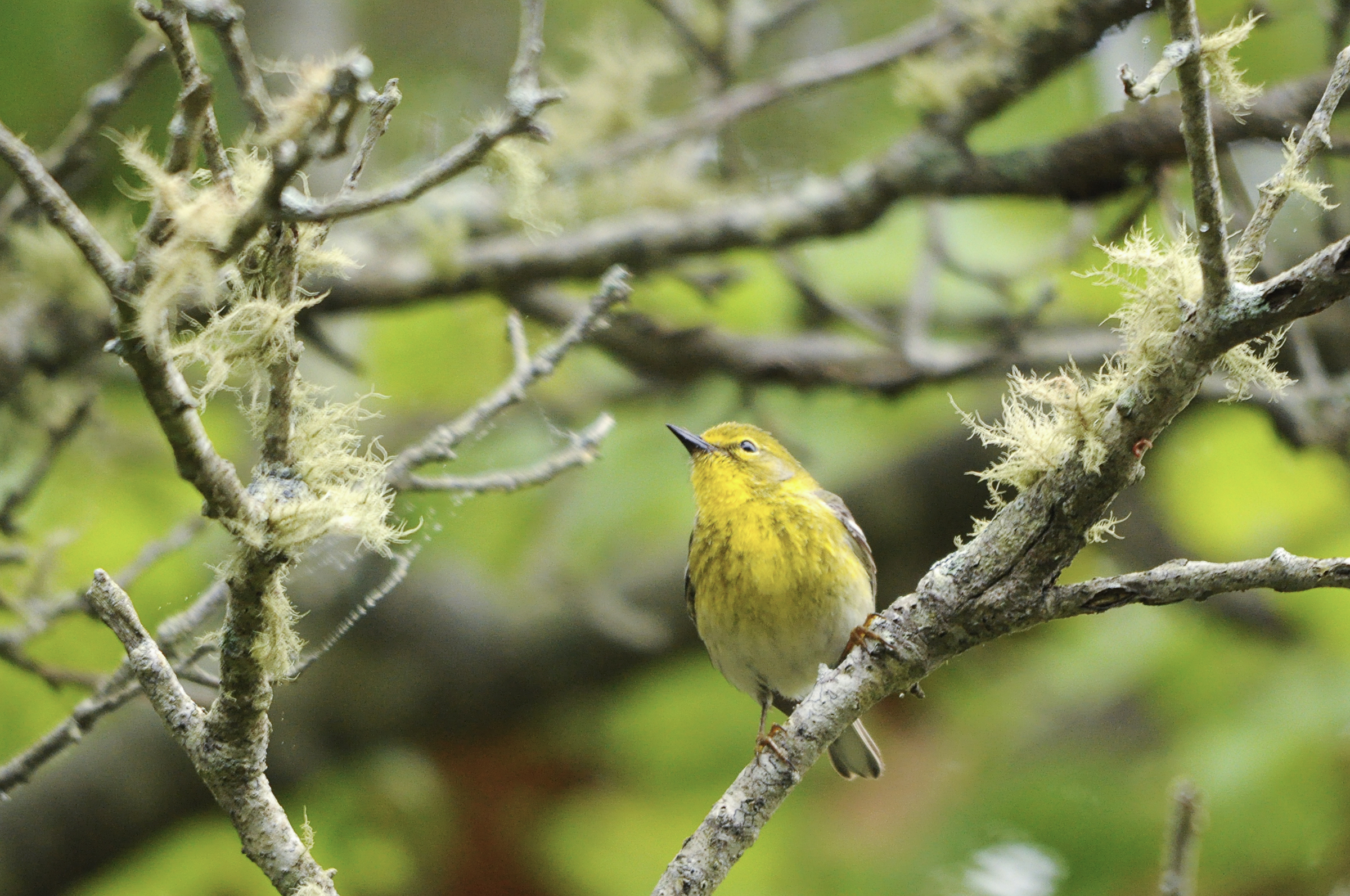 15 pine warbler white oak pitch pine forest putneypics flickr cc%28by nc%202.0%29