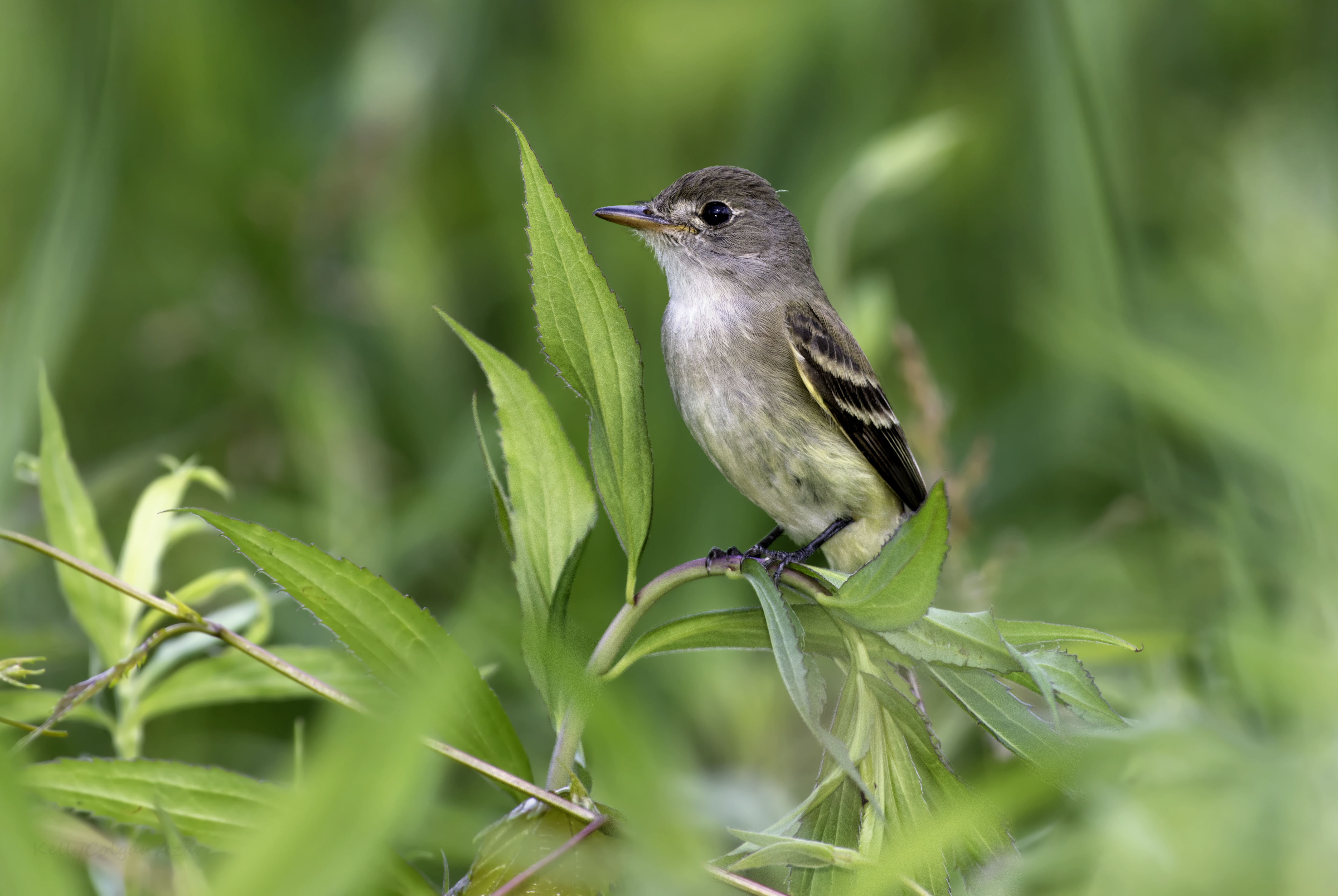 20 willow flycatcher native willow kelly colgan azar cc%28by nd%202.0%29