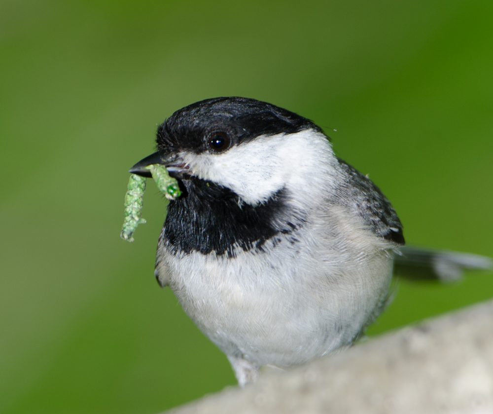 7 carolina chickadee douglas tallamy 3